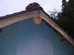 キイロスズメバチの軒下の巣(福島県田村市、2008年10月上旬).jpg