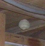 キイロスズメバチの女王蜂が天井裏に作った巣.jpg