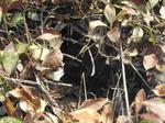 キイロスズメバチの女王蜂が土の中に作った巣.jpg