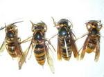 キイロスズメバチの巣内にいた女王蜂・新女王蜂・雄蜂(福島県石川郡、2008年10月上旬).jpg
