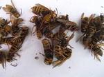 キイロスズメバチの巣内にいた新女王蜂・雄蜂(福島県田村郡、2008年10月上旬).jpg