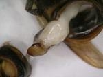 コガタスズメバチの腹部に寄生するネジレバネのメス.jpg