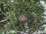 サクラ樹内に作ったコガタスズメバチの巣.jpg