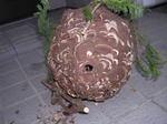 ヒバの生垣に作ったコガタスズメバチの巣の全貌写真(福島県西白河郡,2008年9月下旬).jpg
