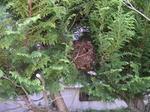 ヒバの生垣に作ったコガタスズメバチの大きな巣(福島県西白河郡、2008年9月下旬).jpg