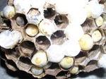 駆除したキイロスズメバチの巣の巣盤にある育房室は、卵・幼虫・蛹と様々な発育段階のもので満室.jpg