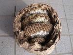駆除したキイロスズメバチの巣の巣盤は4段.jpg