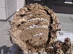 駆除したキイロスズメバチの巣の巣盤は6段(福島県田村郡、2008年9月下旬).jpg