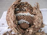 駆除したキイロスズメバチの巣は、直径30cm、巣盤は6段(福島県田村郡、2008年10月上旬).jpg