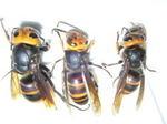 駆除したコガタスズメバチの巣内にいた女王蜂、雄成虫、働き蜂.jpg
