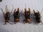 駆除したコガタスズメバチの巣内にいた新女王ハチ、女王ハチ、雄蜂ハチ(福島県西白河郡).jpg