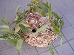 駆除した直径22cmのコガタスズメバチの巣の全貌写真.jpg