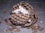 駆除した直径7cmのキイロスズメバチの巣の巣盤は2段.jpg