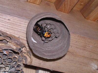 郡山市コガタスズメバチの巣と女王蜂(2007.5.jpg
