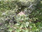 公道のすぐ近くに作ったキイロスズメバチの巣(福島県田村郡、2008年9月下旬).jpg