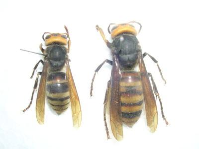 田村市の越冬働き蜂、女王蜂(2006年6月22日).jpg