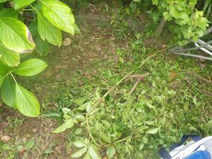 この雑草を取り除いてコガタスズメバチに刺された(鏡石町、2013年10月15日).jpg