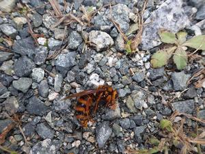 でかいキイロスズメバチの巣内にいた新女王蜂(田村市).jpg