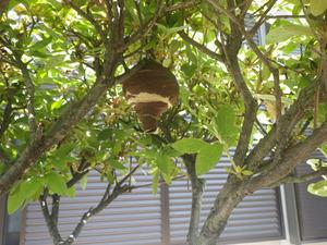 とっくり型のスズメバチの巣を庭のツツジに発見!