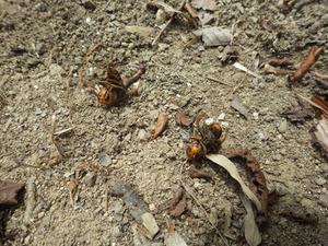 の木の枝を堆積した場所にあったオオスズメバチの死骸(郡山市).jpg