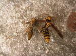 アシナガバチの群れを構成していた雄蜂、新女王蜂(郡山市、2010年9月上旬).jpg