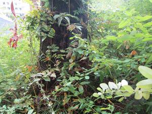 オオスズメバチがマツの洞内にあるミツバチの巣を襲撃 会津、10月下旬.jpg