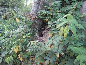 オオスズメバチが出入りするケヤキの洞 会津、10月中旬.jpg