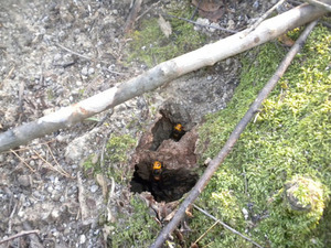 オオスズメバチが巣への出入り口から出動 田村市、10月下旬.jpg