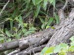 オオスズメバチの出入り口は積み重ねた倒木のすき間(福島市、2010年9月中旬).jpg