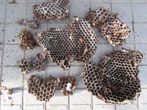 オオスズメバチの崖の巣 福島県石川郡、10 月下旬.jpg
