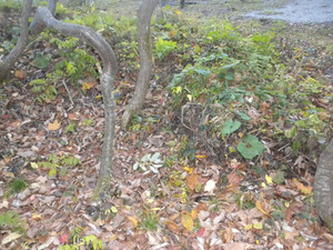 オオスズメバチの巣がある領域の風景 福島県裏磐梯、10月下旬.jpg