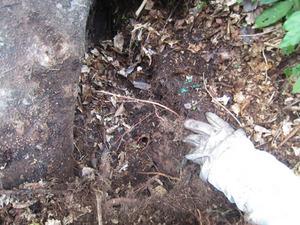オオスズメバチの巣の一部が見えます 会津、10月中旬.jpg