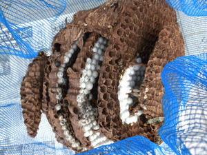 オオスズメバチの巣は、直径40cm、巣盤4段(福島県本宮市、2010年9月下旬).jpg