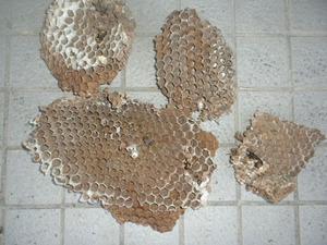 オオスズメバチの巣は直径30cm、巣盤3段 福島県裏磐梯、10月下旬.jpg