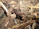 オオスズメバチの巣を倒木どけてゆき発見(福島市、2010年9月中旬).jpg