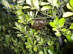 キアシナガバチの巣が通学路に面した生垣に(郡山市、2010年9月中旬).jpg