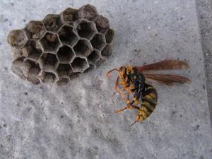 キアシナガバチの巣と女王蜂 郡山市、2012年.jpg