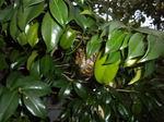 キアシナガバチの巣はツバキの枝葉の陰に(郡山市、2010年9月上旬).jpg