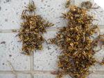 キアシナガバチの巣上にいた成虫たち(郡山市、2010年9月中旬).jpg