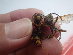 キアシナガバチの新女王蜂(左)と雄蜂(右)(須賀川市).jpg