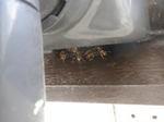 キアシナガバチの群れが雨どいの陰に集合(郡山市、2010年9月上旬).jpg