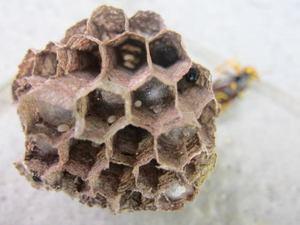キアシナガバチの蛹と卵が同居する育房室 郡山市、2012年.jpg