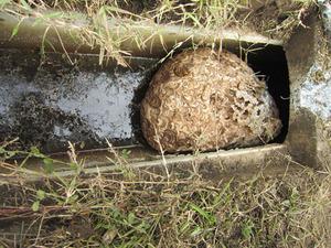 キイロスズメバチが側溝に作った巣の全貌 福島県西白河郡、10 月下旬.jpg