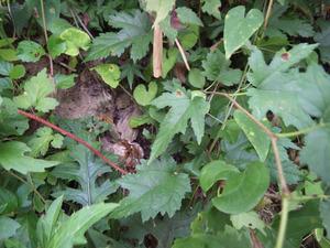 キイロスズメバチが土の中の巣から出てきました(田村市).jpg