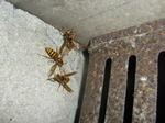 キイロスズメバチが床下換気口から出入り(福島県石川郡、2010年9月上旬).jpg