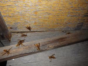 キイロスズメバチが板壁の中からゾロゾロ(白河市、2013年8月10日).jpg