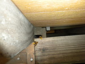 キイロスズメバチが神社倉庫の軒下にあるすき間から出入り(郡山市、2010年9月下旬).jpg