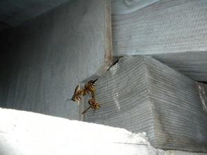 キイロスズメバチが軒下のすき間から出入り(福島県田村郡、2010年9月下旬).jpg