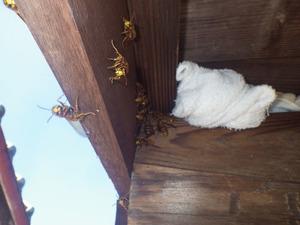 キイロスズメバチが軒裏天井の巣に戻れない状況(田村市).jpg