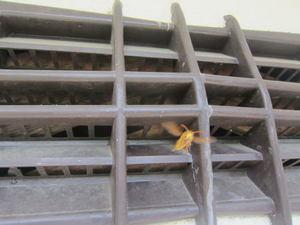 キイロスズメバチが通気口から出入り  須賀川市、2012年.jpg